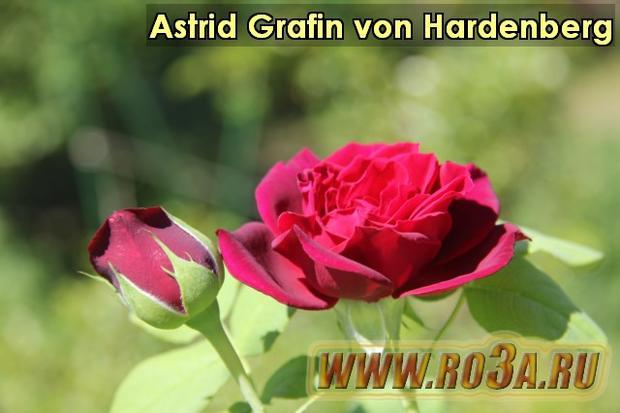Роза Astrid Grafin von Hardenberg Астрид Графин фон Харденберг