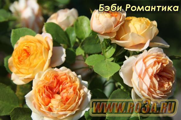 Роза Baby Romantica Бэби Романтика