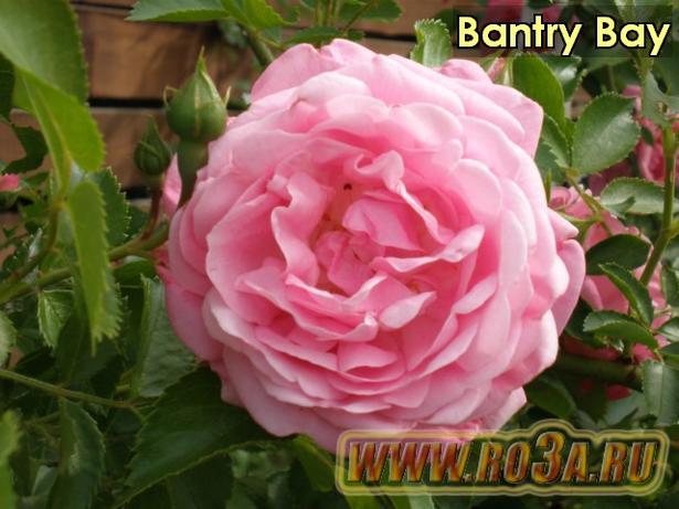Роза Bantry Bay Бантри Бэй