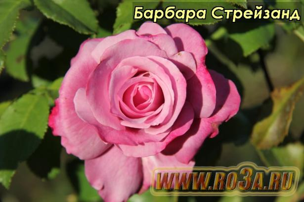 Роза Barbra Streisand Барбара Стрейзанд