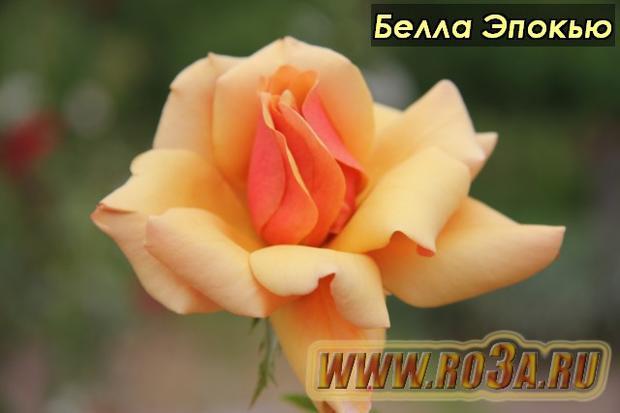 Роза Belle Epoque Белла Эпокью