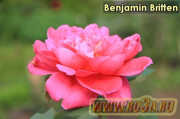 Роза Benjamin Britten Бенджамин Бриттен