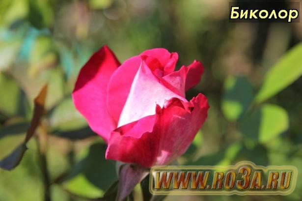 Роза Bicolor Биколор