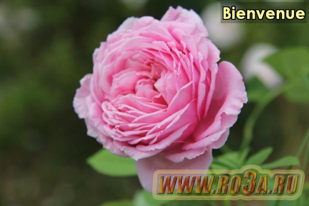 Роза Bienvenue Бьянвиню
