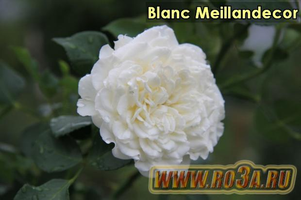 Роза Blanc Meillandecor Бланк Меяндекор Super Swany, White Meidilland</li>