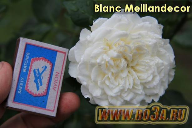 Роза Blanc Meillandecor Бланк Меяндекор