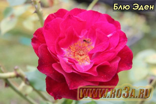 Роза Blue Eden Блю Эден
