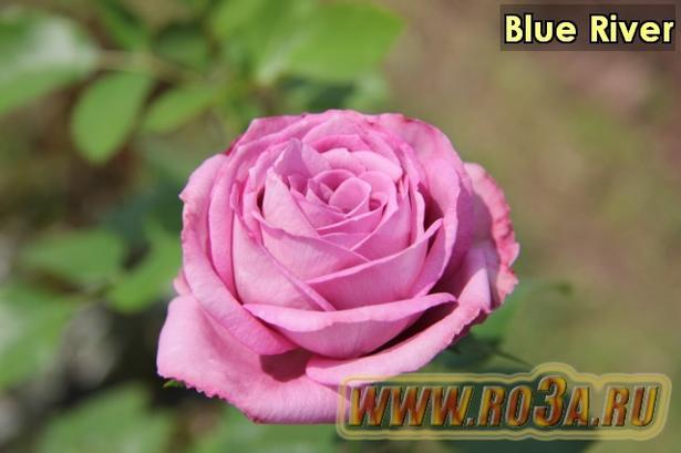 Роза Blue River Блю Риве