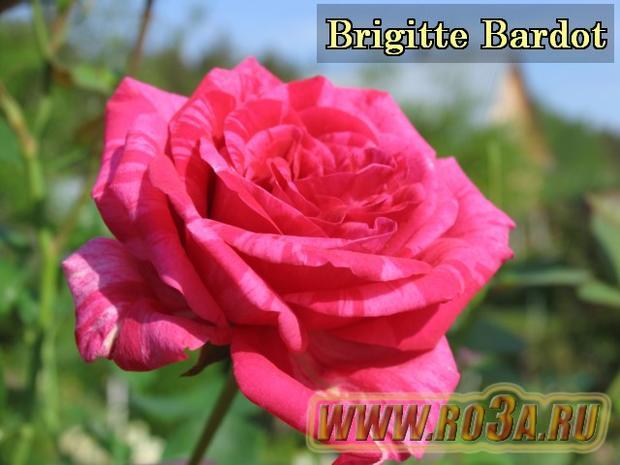 Роза Brigitte Bardot Бриджит Бардо