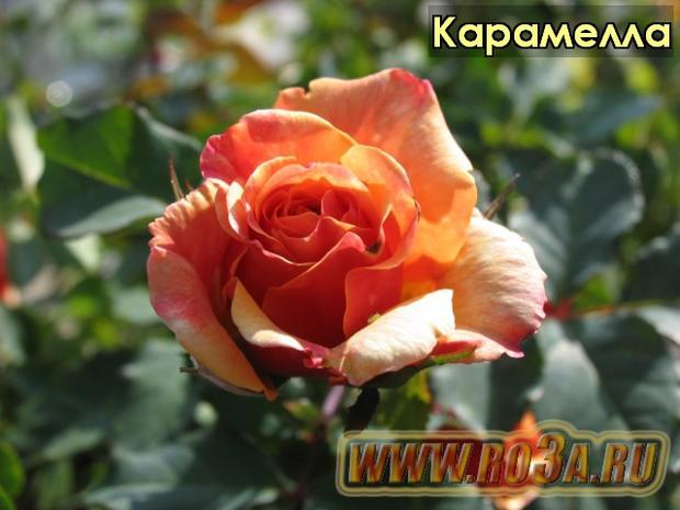 Роза Caramella Карамелла