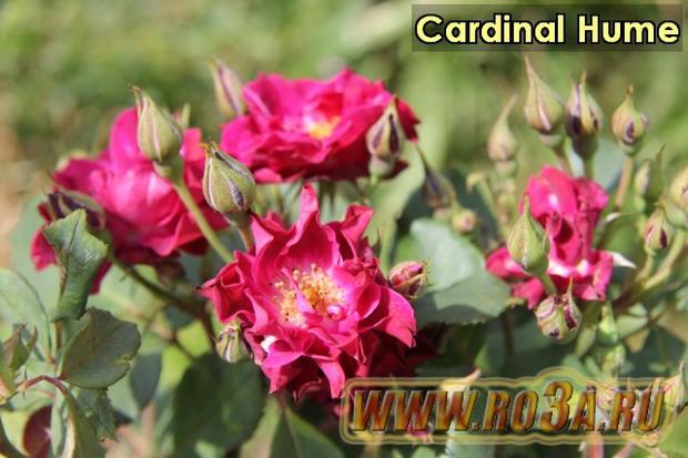 Роза Cardinal Hume Кардинал Хьюм. Полупл.