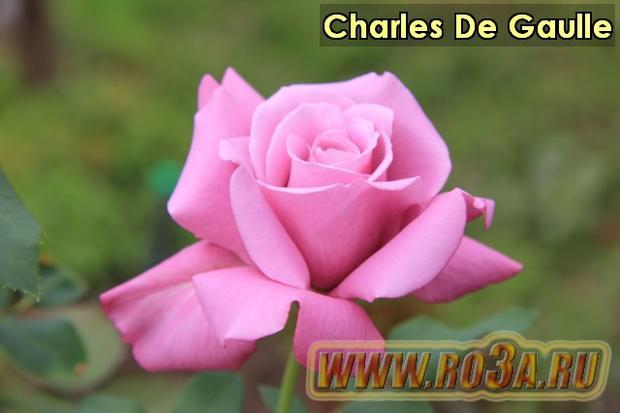 Роза Charles De Gaulle Шарль Де Голь