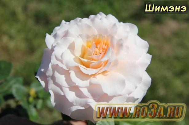 Роза Chimene Шимэнэ