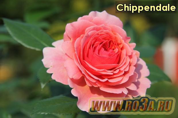 Роза Chippendale Чиппэндэйл