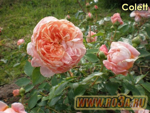 Роза Colett Колетт (Полуплетистая)