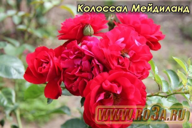 Роза Colossal Meidiland Колоссал Мейдиланд Prodige Ecarlate</li>