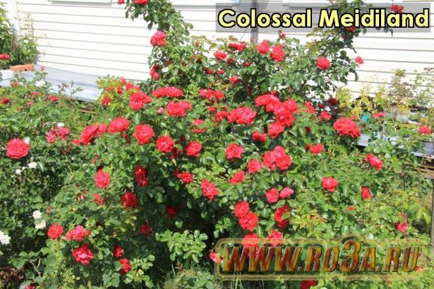 Роза Colossal Meidiland Колоссал Мейдиланд