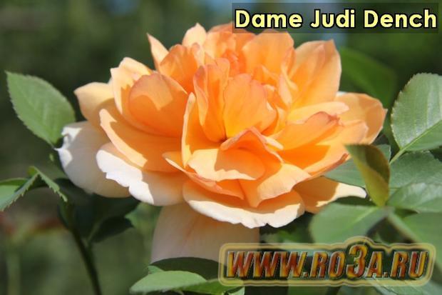 Роза Dame Judi Dench Дама Жуди Денч