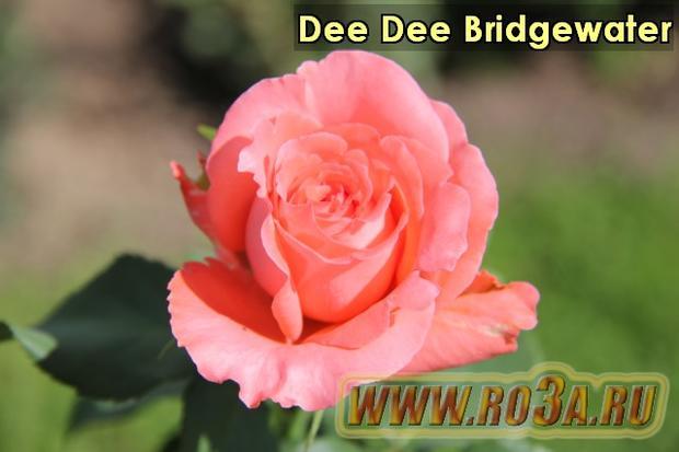 Роза Dee Dee Bridgewater Ди Ди Бриджвотэ
