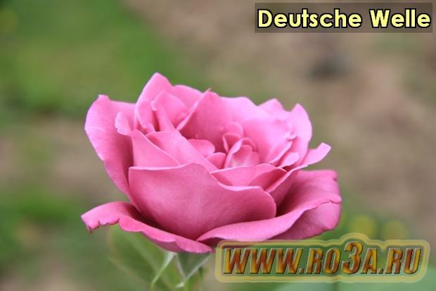 Роза Deutsche Welle Дойче Велле