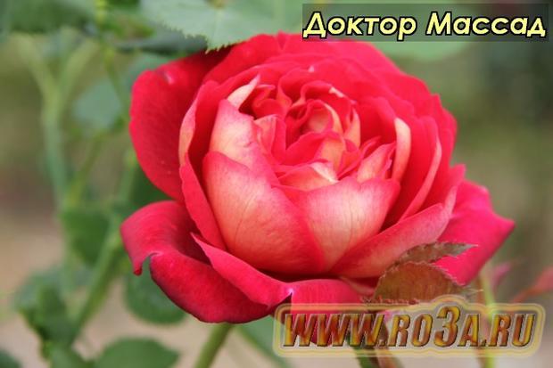 Роза Docteurs Massad Доктор Массад