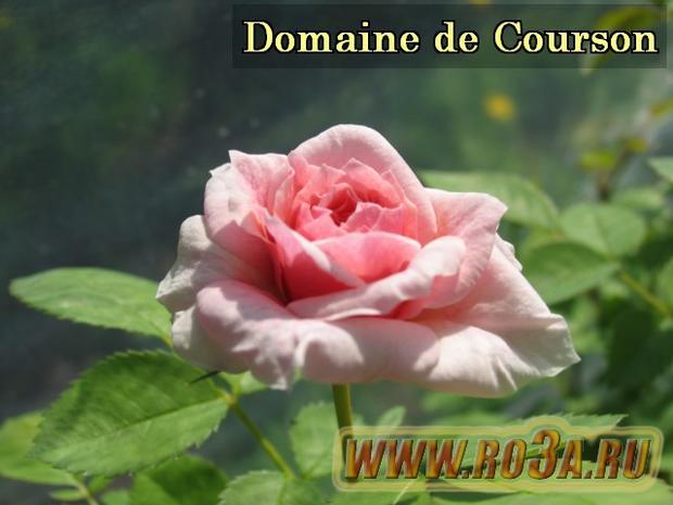 Роза Domaine de Courson Домэн де Курсон