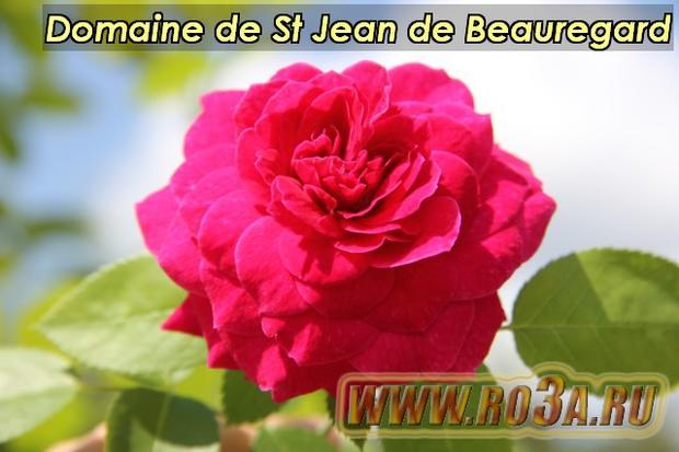 Роза Domaine de St Jean de Beauregard Домайн д Ст Жеан