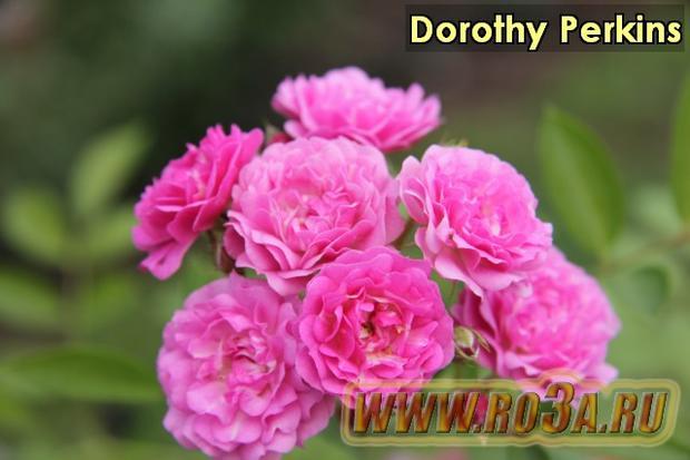 Роза Dorothy Perkins Доротти Перкинс