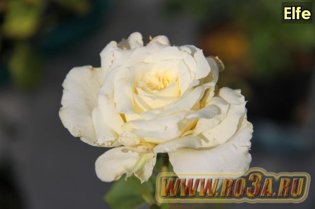 Роза Elfe Эльф