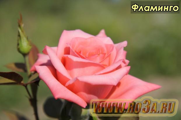 Роза Flamingo Фламинго Маргарет Тэтчер, Вероника</li>