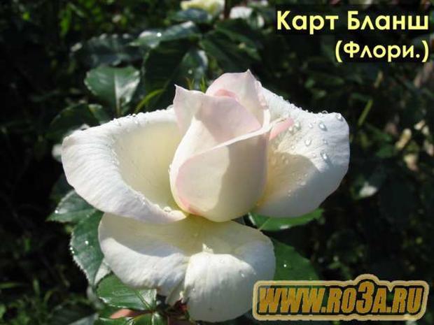 Роза Carte Blanche Карт Бланш