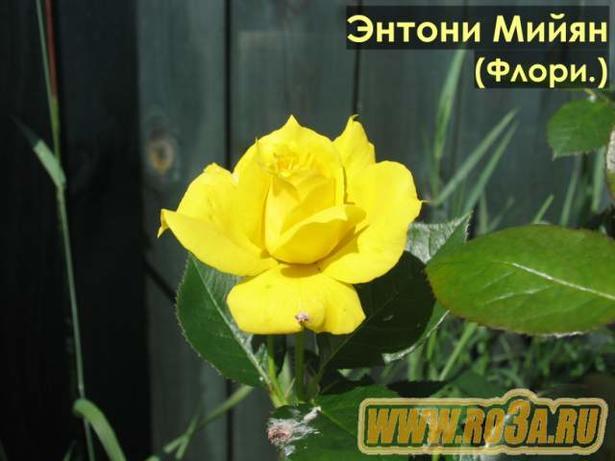 Роза Antony Meilland Энтони Мейян
