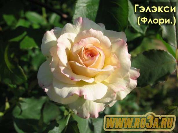 Роза Galaxy Гэлакси