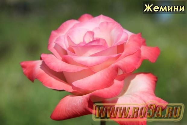 Роза Gemini Жемини
