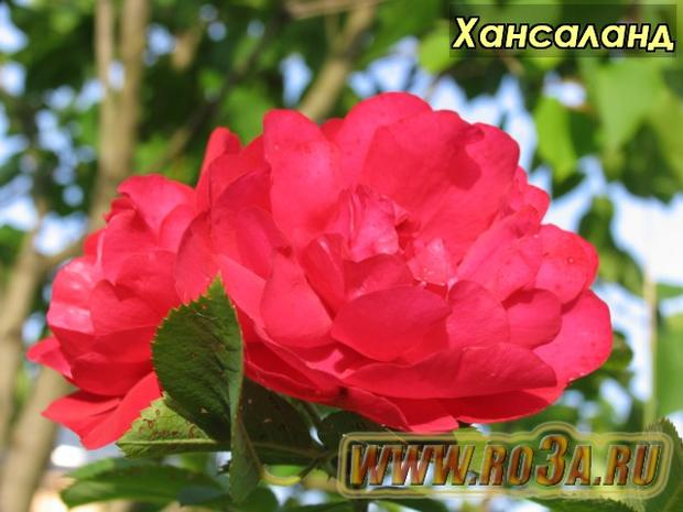 Роза Hansaland Хансаланд