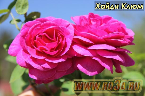 Роза Heidi Klum Хайди Клюм