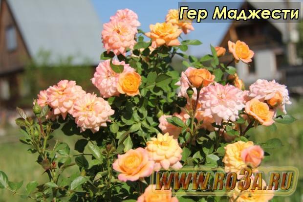 Роза Her Majesty Гер Маджести