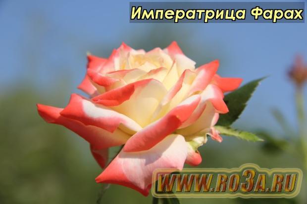 Роза Imperatrice Farah Императрица Фарах