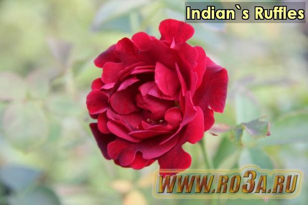 Роза Indian′s Ruffles Индиан Раффлз