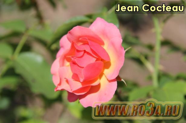 Роза Jean Cocteau Жан Кокто