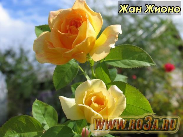 Роза Jean Giono Жан Жионо