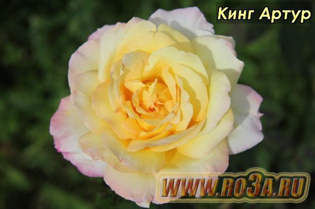 Роза King Arthur Кинг Артур Samaritan</li>