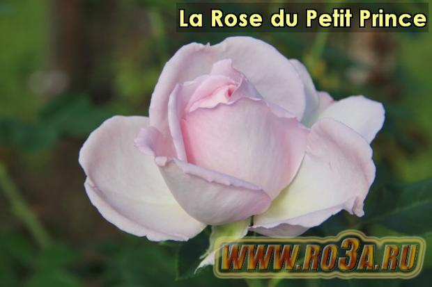Роза La Rose du Petit Prince Маленький Принц
