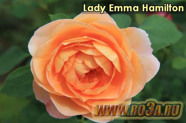 Роза Lady Emma Hamilton Лэди Эмма Гамильтон