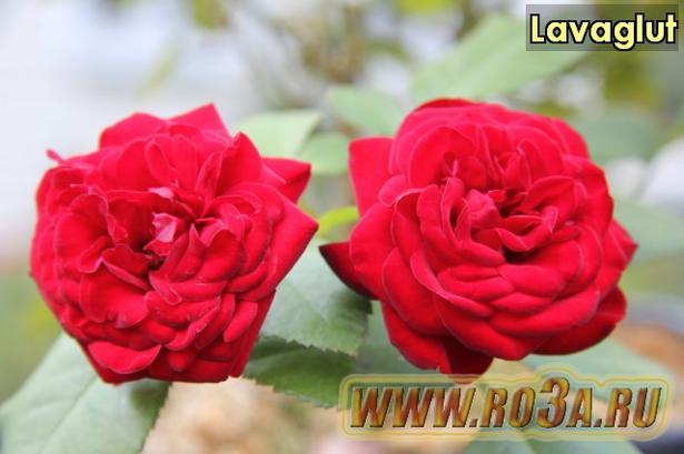 Роза Lavaglut Лаваглют