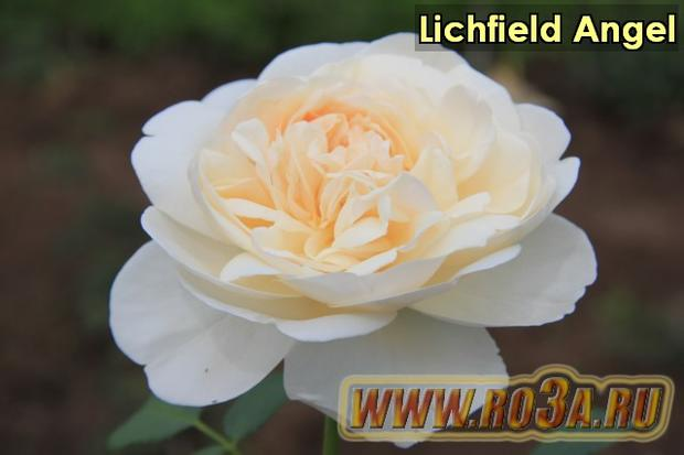 Роза Lichfield Angel Личфельд Ангел