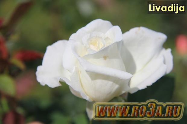 Роза Livadija Ливадия Metropolitan</li>