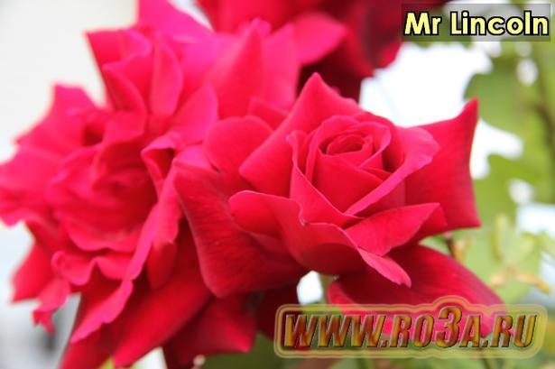 Роза Mr Lincoln Мистер Линкольн