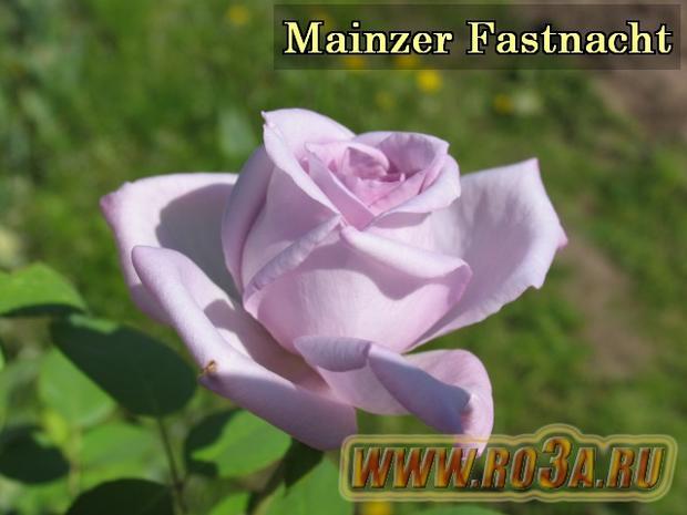 Роза Mainzer Fastnacht Майнцер Фастнахт