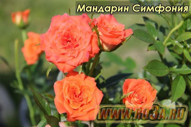 Роза Mandarine Symphonie Мандарин Симфония
